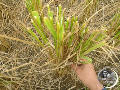 FOTO 2 : Memilih batang padi yang besar untuk empet-empetan, sesempretan ( terompet )