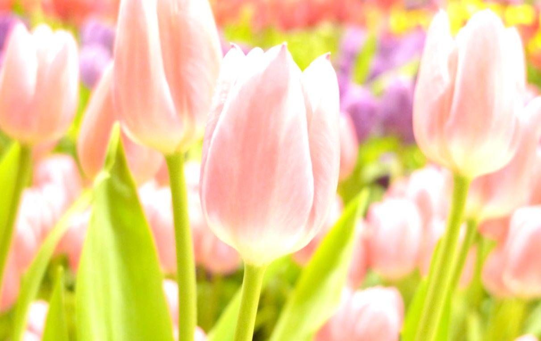 Bokeh Tulips Spring Hd Wallpaper Wallpapers Minimalist