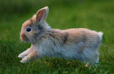 best pet rabbit