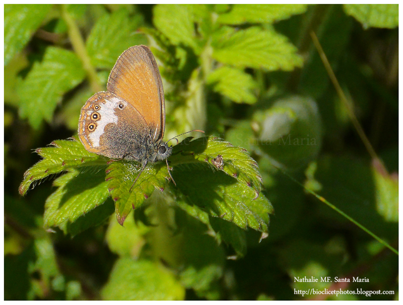 http://bioclicetphotos.blogspot.fr/search/label/C%C3%A9phale%20-%20Coenonympha%20arcania