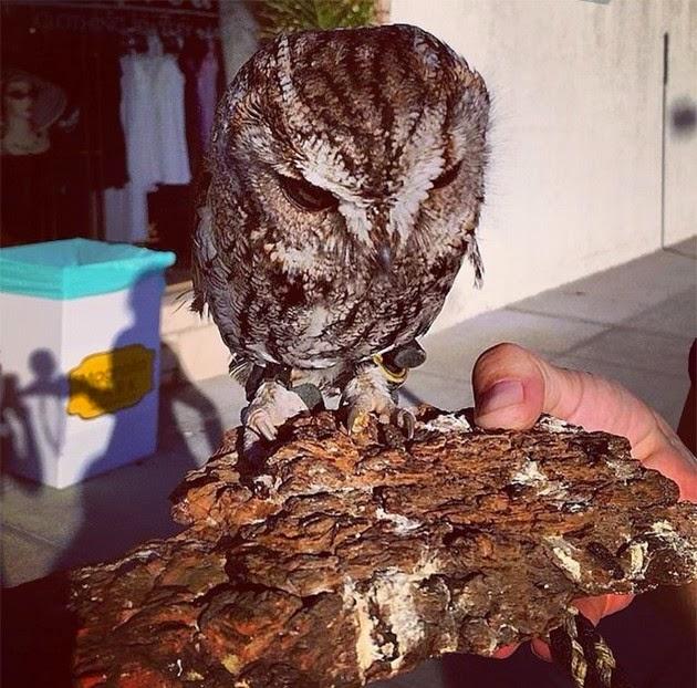 Wildlife Learning Center, Zeus, blind owl
