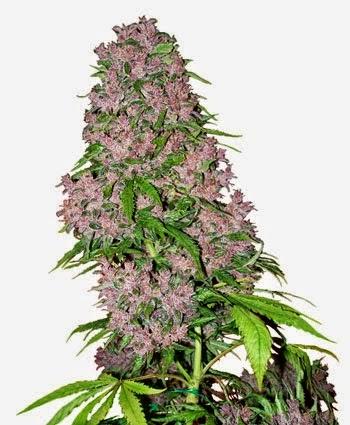 vendita-online-semi-marijuana-purple-bud-femminilizzati