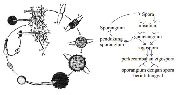 Pengertian Fungi Jamur