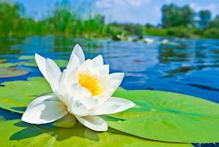 Resultado de imagen de flor de loto