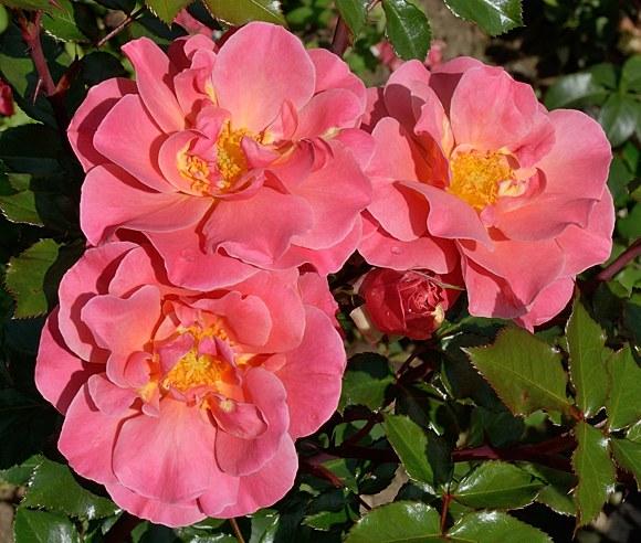 Melusina сорт розы фото