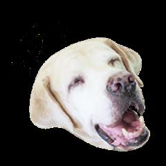Labrador retriever fat dog 1