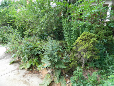 Leslieville Toronto front garden summer cleanup before Paul Jung Gardening Services