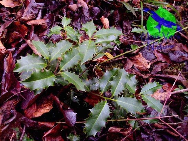 Houx - Ilex aquifolium - stages plantes sauvages comestibles