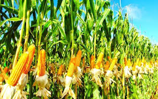The Amazing Of Health Benefits Of Eatting Sweet Corn - Healthy T1ps