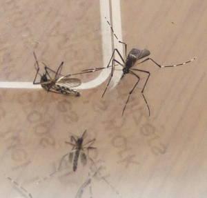 Cómo hacer un repelente natural y «ahuyentador» de mosquitos