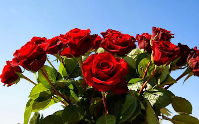 a beautiful red rose family wallpaper