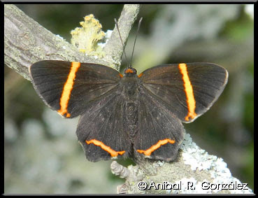 Mariposa danzarina Riodina lysippoides
