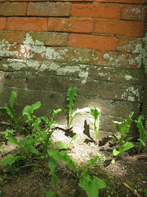 Dandelions circle a pool of light by an old red brick wall.