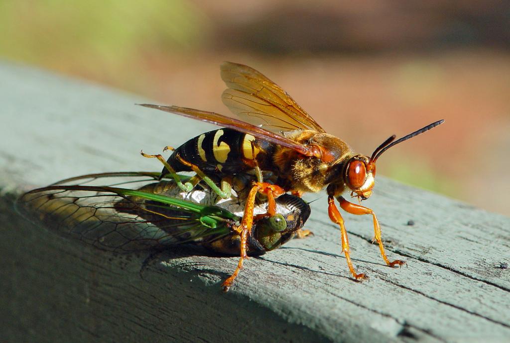 cicada - photo #34