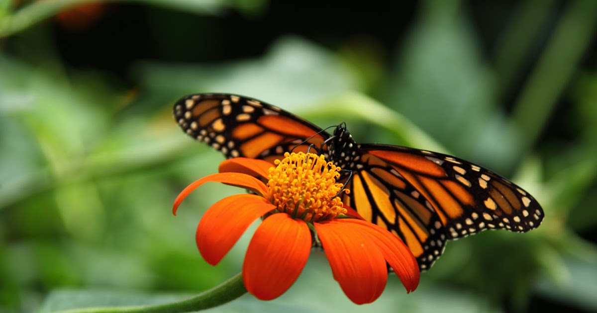 Truth: MONARCH BUTTERFLY, QUEEN BUTTERFLY, COMMON CROW BUTTERFLY ... Queen Butterfly Vs Monarch