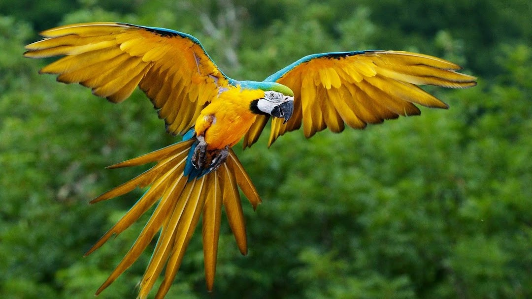 Flying Parrot HD Wallpaper