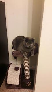 Scotish Fold Cat for sale