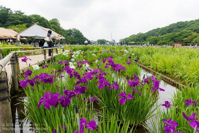北山公園菖蒲苑を撮影した写真、天気は残念ながら曇りでした