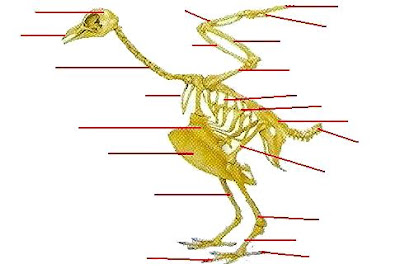 Dibujo del esqueleto de un ave para poner sus partes