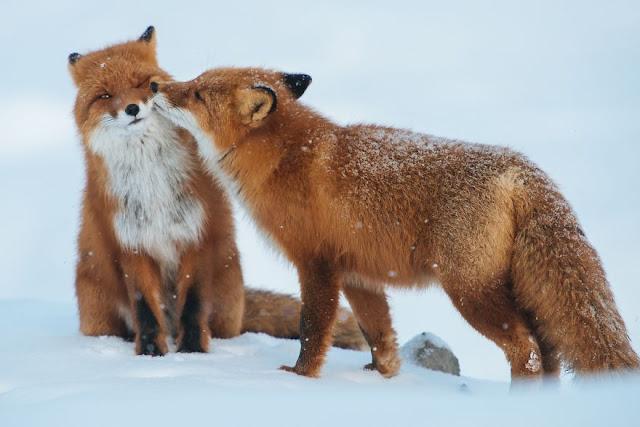 Koleksi Foto Terbaik Hewan Yang Berciuman