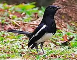 Foto Burung Kacer Nyaring Gacor Suara Merdu