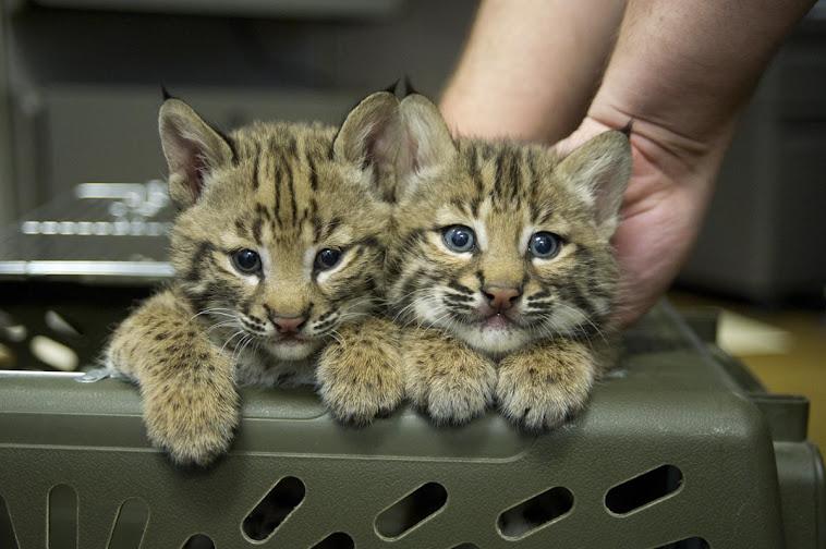 Lexi Moxi Texas Bobcat Sisters
