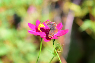butterfly on cosmos flowers