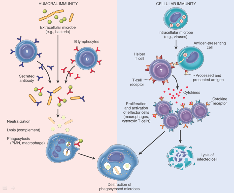 cell humoral immunity mediated antibodies immune system cellular cells antigen specific response process adaptive antibody defense lymphocytes difference science innate