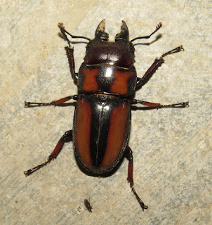unknown stag beetle, Lucanidae
