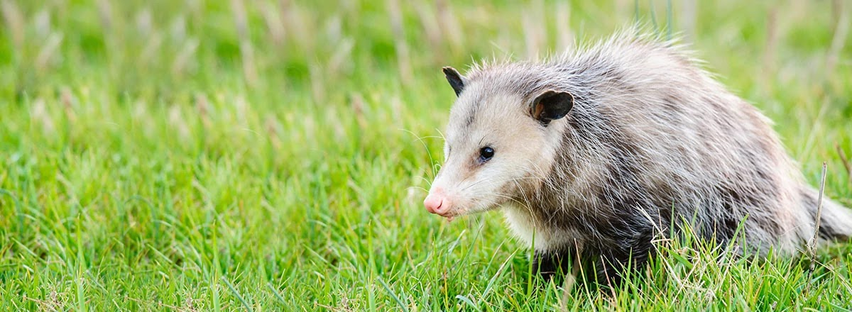 Opossums Are Immune To Lyme Disease And Eat Ticks Which Spread It!