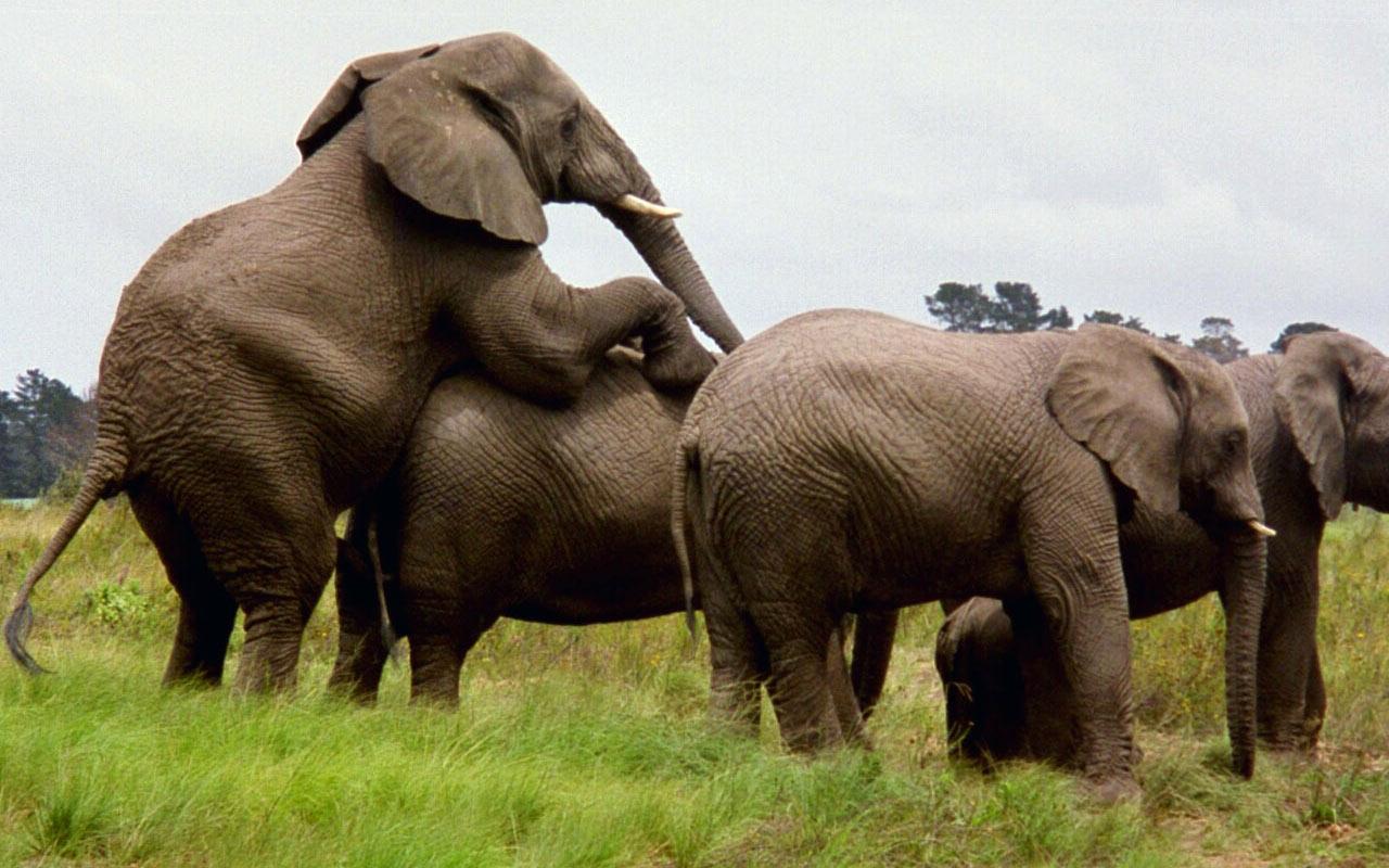 Free Sex Video Elephant