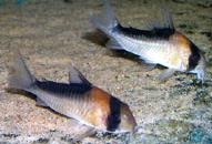 Jenis Ikan Corydoras duplicareus