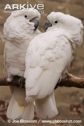 Cacatúa blanca: Cacatua alba