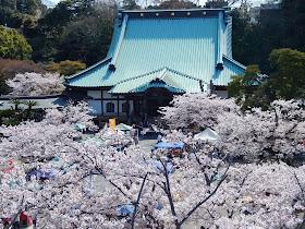 光明寺山門・桜