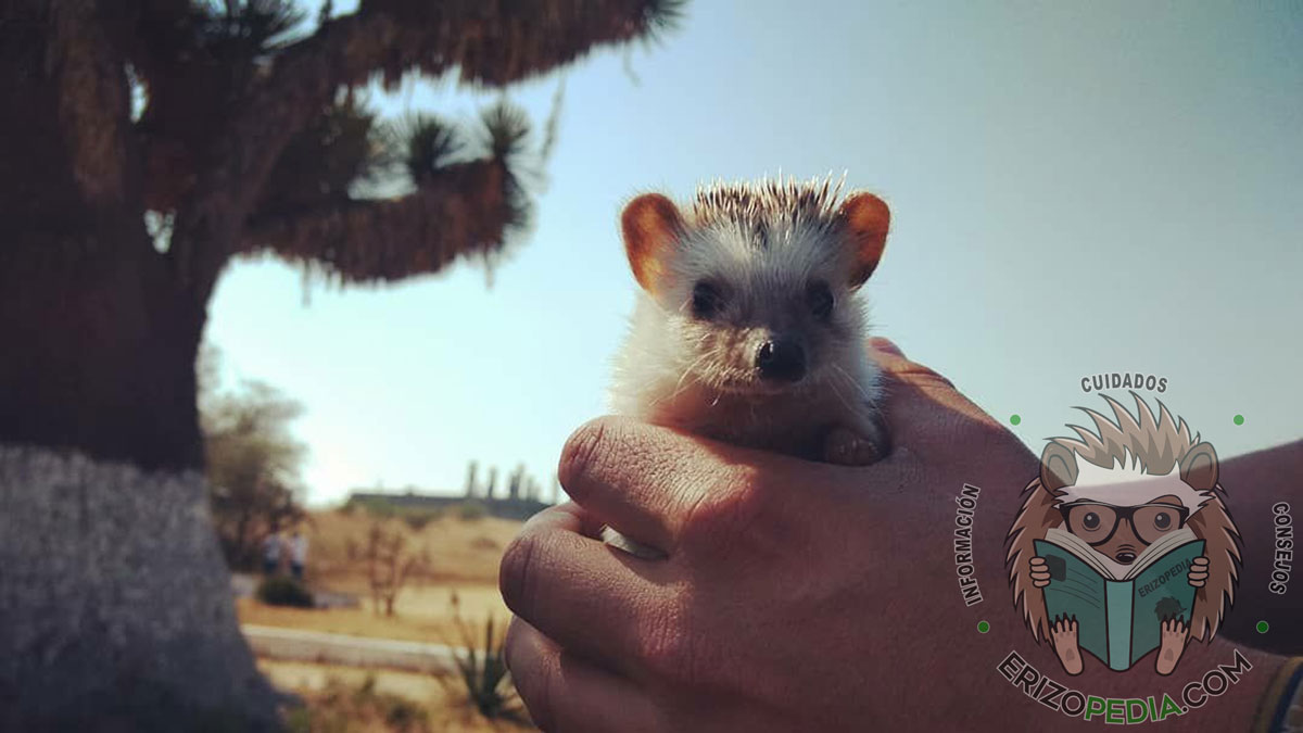 Erizo de tierra mascota sostenido en las manos