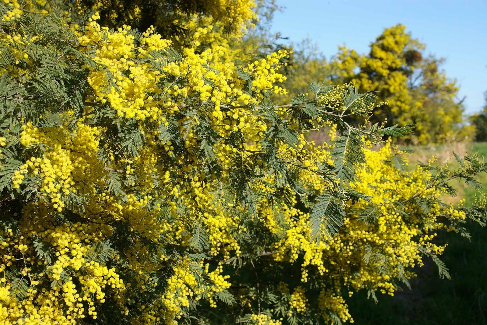 yellow wattle