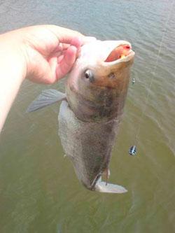 ловля толстолобика летом