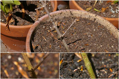 Gartenblog Topfgartenwelt mediterrane Pflanzen: Olivenbaum ist unter der Rinde noch grün
