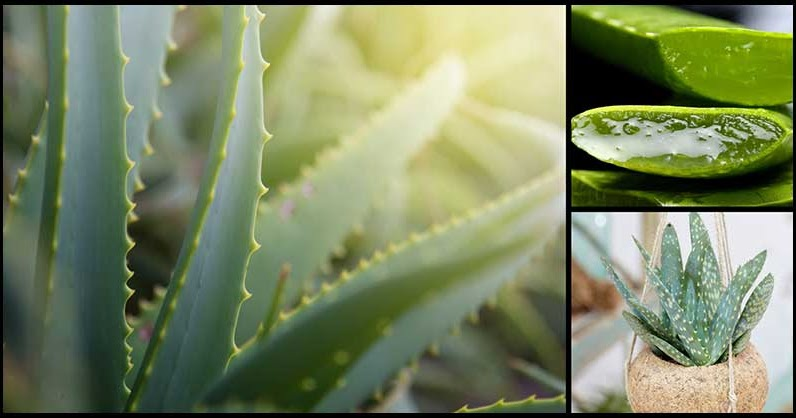 Aloe Vera Benefits.'