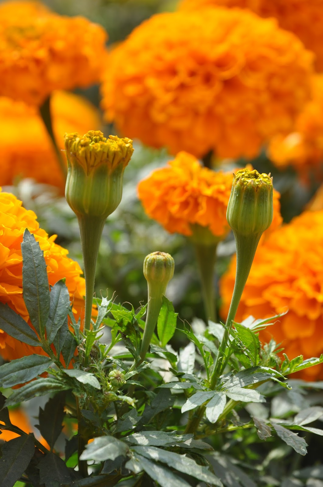 A Beautiful African: Garden Therapy: Marigold Beautiful