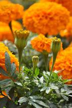 Garden Therapy Marigold Beautiful