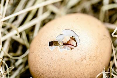9 Cara Menentukan Telur Ayam Dan Belibis Yang Baik Untuk Di Tetaskan