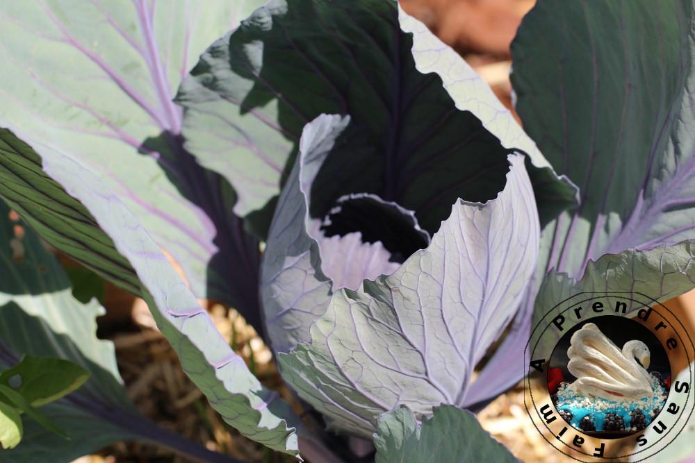 Tout savoir sur le chou rouge (pas à pas en photos)