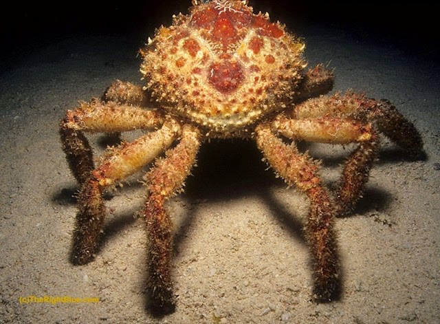 Channel Clinging Crab (Mithrax spinosissimus)