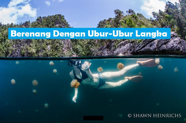 tempat wisata berenang bebas dengan ubur-ubur-langka