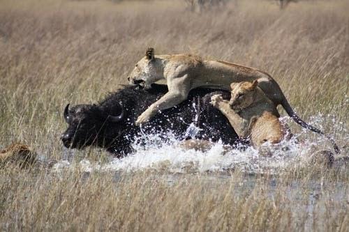 الاسد والحيوانات التى يفترسها Panthera