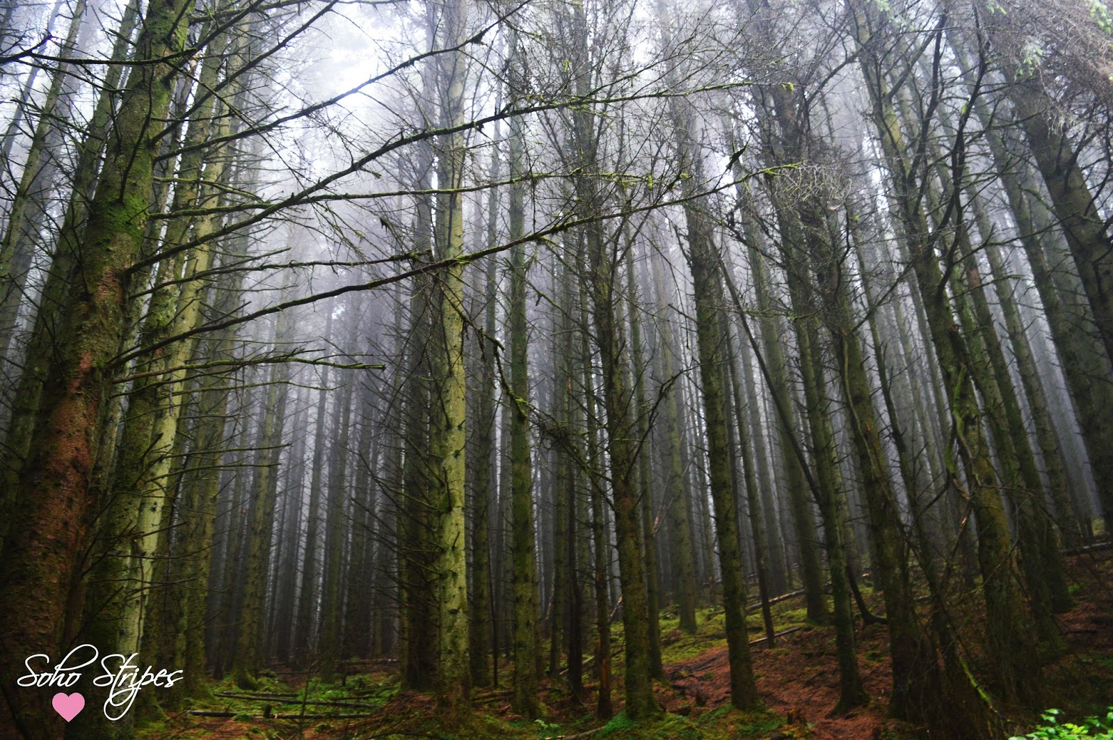 Mist amongst the branches | Ballycastle Forest