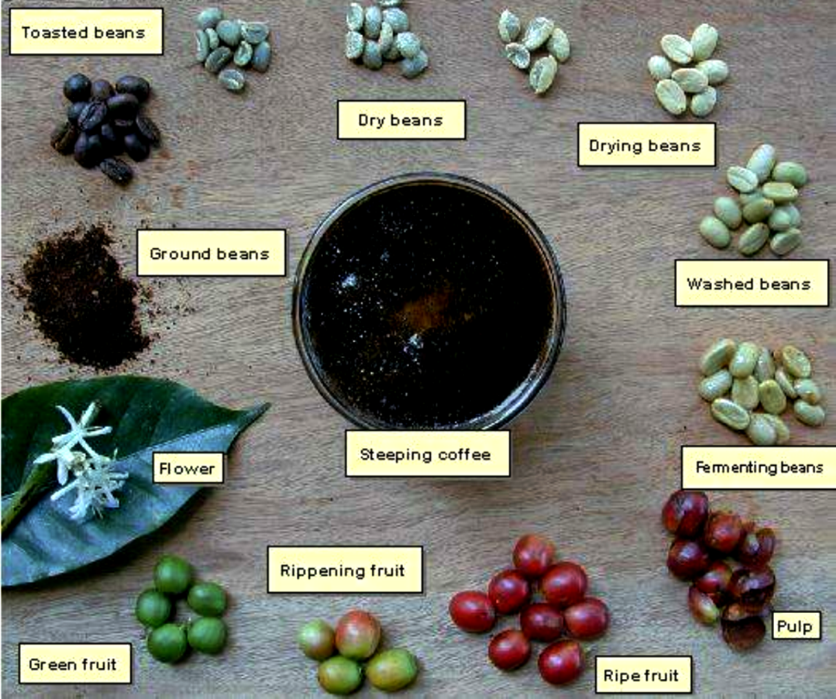 the process of coffee Washed, natural, honey: coffee processing 101  in many ways, this type of coffee is halfway between a washed coffee and a natural process coffee:.