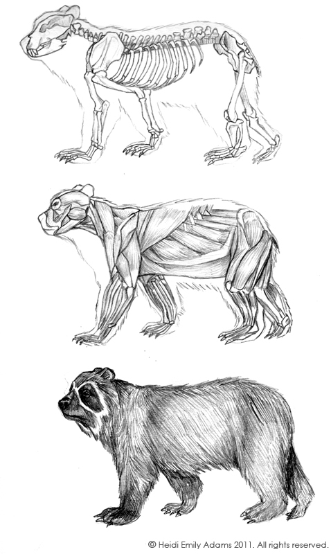 Heidi Emily Adams Illustration: The Spectacled Bear... and