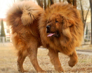 The regal Tibetan Mastiff